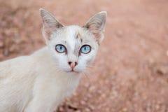 Cat. Blue eyes cat staring at camera royalty free stock photography