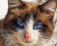 Cat with blue eyes. Cat blue eyes white outdoor furry brown fur wild wildlife cute animal nature mammal Stock Images