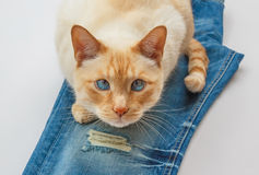 Cat on blue jeans Stock Photography