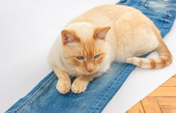 Cat with blue jeans Stock Photography
