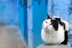 Cat in the blue medina of Chefchaouen, Morocco Royalty Free Stock Image