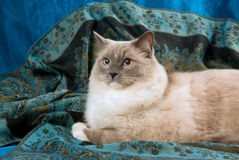 Cat blue point on blue background. Blue point Mitted Ragdoll cat lying on luxurious blue fabric background stock photos
