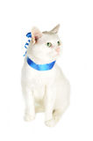 Cat  with  blue ribbon Royalty Free Stock Photography