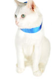 Cat  with  blue ribbon Royalty Free Stock Images