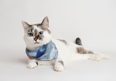 Cat in a blue scarf lying. White cat in a blue scarf lying Stock Images