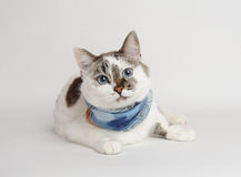 Cat in a blue scarf lying. White cat in a blue scarf lying Royalty Free Stock Photos