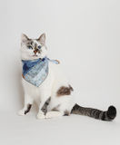Cat in a blue scarf. White cat in a blue scarf Royalty Free Stock Photo