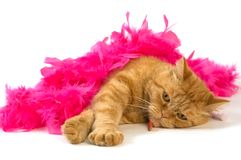 Cat and boa. Domestic cat laying on a ping boa Stock Images