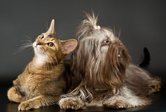 Cat and bolonka zwetna Royalty Free Stock Photography