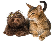Cat and bolonka zwetna in studio Royalty Free Stock Photography