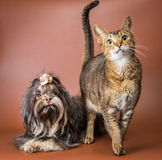 Cat and bolonka zwetna in studio Stock Photo