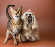 Cat and bolonka zwetna in studio Stock Photos