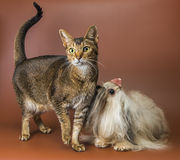Cat and bolonka zwetna in studio Royalty Free Stock Image