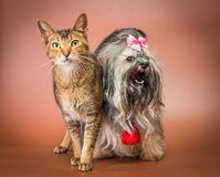 Cat and bolonka zwetna in studio Stock Photography