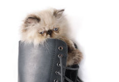 Cat in Boots - Himalauan cat in combat boot Royalty Free Stock Photography