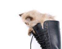 Cat in Boots - Himalauan cat in combat boot Royalty Free Stock Images