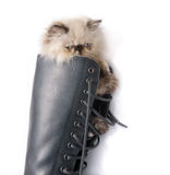 Cat in Boots - Himalauan cat in combat boot Royalty Free Stock Photo
