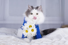 Cat with a bouquet of daisies in the morning wakes owner Royalty Free Stock Images
