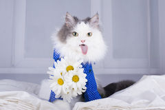 Cat with a bouquet of daisies in the morning wakes owner Royalty Free Stock Photos
