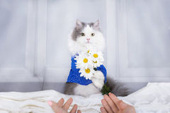Cat with a bouquet of daisies in the morning wakes owner Stock Photo