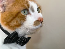 Cat with bow tie and copy space Stock Image