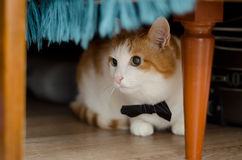 Cat in bow tie lies under the table. Beautiful white and ginger cat in black bow tie is under the table Stock Image