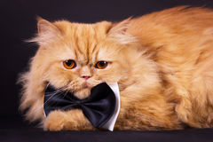 Cat with bow tie. Orange persian cat with black bow tie on black background Royalty Free Stock Photo