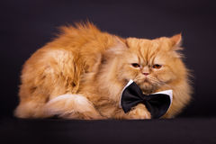 Cat with bow tie. Orange persian cat with black bow tie on black background Stock Photos