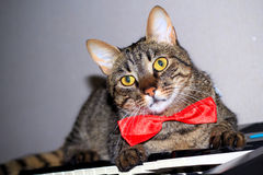 Cat in a bow tie Royalty Free Stock Photos