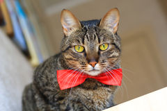 Cat in bow tie Stock Images