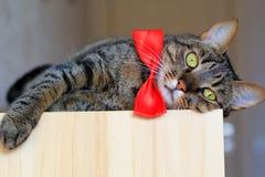 Cat in bow tie Stock Photo