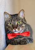 Cat in bow tie Royalty Free Stock Photography