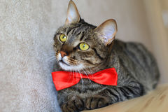 Cat in bow tie Royalty Free Stock Photo