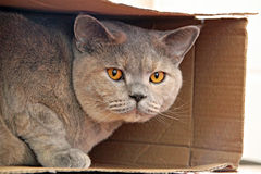 Cat in a box. Photo of a luxury pedigree british shorthair cat hiding in her cardboard box Stock Photo