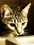 Cat In The Box. Close up of cat in laundry tub Royalty Free Stock Photos