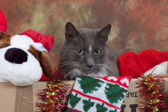 Cat in box of christmas apparell Stock Images
