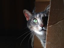 Cat in a Box. A curious cat fooling around inside a cartoon box, enjoying sunset sun rays at home royalty free stock photo