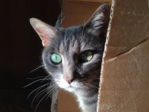Cat in a Box. A curious cat fooling around inside a cartoon box, enjoying sunset sun rays at home stock photography