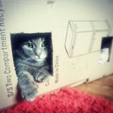 Cat in the box Royalty Free Stock Photo