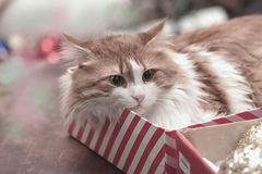 Cat in a box Royalty Free Stock Photos