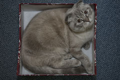 Cat in the box Royalty Free Stock Image