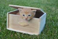 Cat on the BOX. Sweet red cat on a wood box, blue eyes. the most beautiful and loving, stress free cat Stock Photo