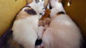 Cat Breast Feeding Kittens. Newborn kittens with a cat in a basket, TimeLapse 4K stock video