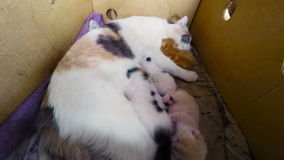 Cat Breast Feeding Kittens. Newborn kittens with a cat in a basket, TimeLapse 4K stock video footage