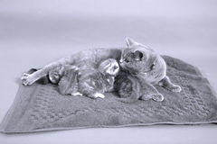 Cat breastfeeding Royalty Free Stock Photos