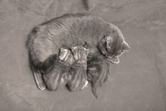 Cat breastfeeding her babies Royalty Free Stock Photography
