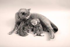 Cat breastfeeding her babies Stock Photos