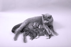 Cat breastfeeding her babies Royalty Free Stock Images