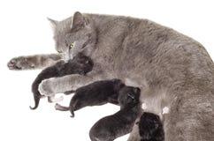 Cat breastfeeding kittens. Licking one of them Stock Image