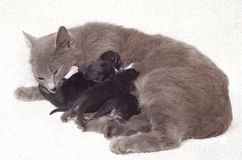 Cat breastfeeding kittens Stock Photography